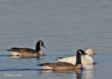 20091117 097 Snow Goose - SERIES.jpg