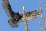 20080501 041 Turkey Vulture.jpg