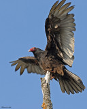 20080501 063 Turkey Vulture.jpg