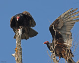 20080501 084 Turkey Vulture.jpg