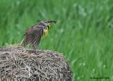 20080606 291 Eastern Meadowlark.jpg