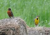 20080606 014 Eastern Meadowlark.jpg