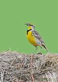 20080606 133 Eastern Meadowlark.jpg