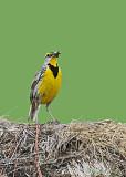 20080606 137 Eastern Meadowlark.jpg