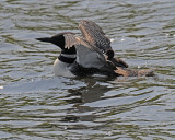 20080613 454 Common Loon (imm 1 day old)#13 SERIES.jpg