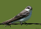 20080528 184 Tree Swallow (juvenile).jpg