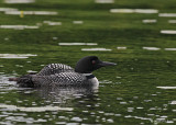 20080621 300 269 Common Loons (imm 8 days old).jpg