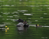 20080621 300 370 Common Loons (imm 8 days old) xxx.jpg