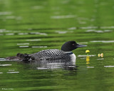 20080621 300 390 Common Loons (imm 8 days old).jpg