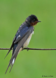 20080606 412 Barn Swallow.jpg