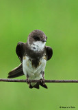 20080606 413 Bank Swallow.jpg