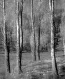Birch Brush Mono