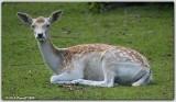 Fallow Deer @ 403mm 1/500s f/6.3 iso 400