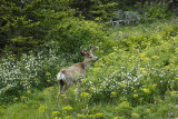 GNP White Tailed Deer