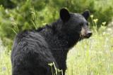 Black Bear - GNP Summer 2008