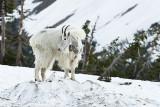 GNP Mountain Goats - Summer 2008