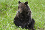Banff Grizzly & Cubs - May 08