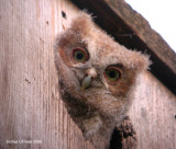 Eastern Screech Owls
