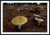 A Mushroom Among Many