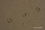 Domestic Dog tracks