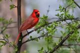 Cardinals, Grosbeaks, Buntings & Tanagers