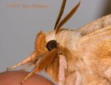 Furry Sphinx Moth