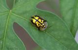 Mottled Tortoise Beetle