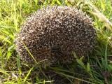 Hérissons -Hedgehog