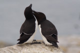 Many of the raorbill pairs were courting