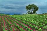 Flowers Farm (2)