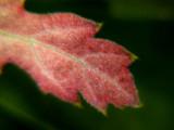 Red Oak?