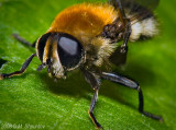Worker Honey Bee - Apis mellifera