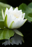 Water Lily - Pinery Provincial Park