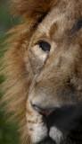 lioncolour.jpg