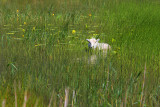 Snake...ooops no, Sheep in the grass