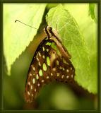 Butterfly39