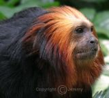 Golden-Headed Tamarin (Sep 06)