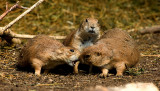 Fighting Prairie Dogs