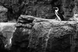 black foot penguin