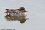 Green-winged Teal  -  (Anas crecca)  -  Sarcell d'hiver