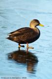 American Black Duck  -  (Anas rubripes)  -  Canard noir