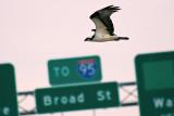 Osprey in Traffic