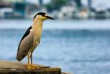 Black-crowned Night-Heron II