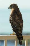 Hawk on the Condo Balcony