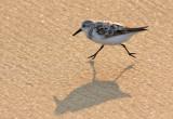 Sandpiper Racing On The Beach