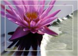 San Angelo International Waterlily Collection