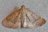 Ocrasa sp. near to O. nonusalis