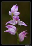 Orchidaceae (Orquídees)