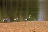 Grey Crowned Crane, Zambia