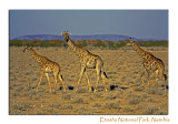 Three Giraffes, Etosha National Park